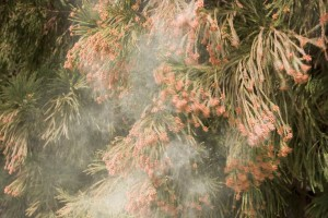 pollen cedar